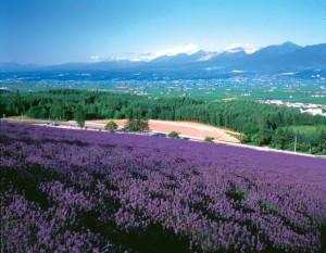 C7-3-18-1 Nakafurano lavender field